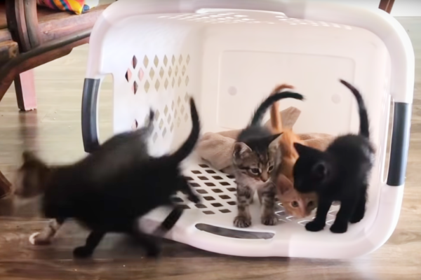 Kittens in a Laundry Basket